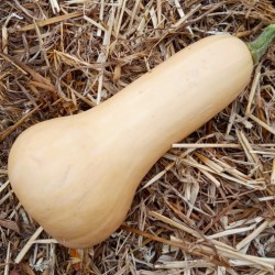 "Courge ""Butternut"" de 700 à 900 gr"